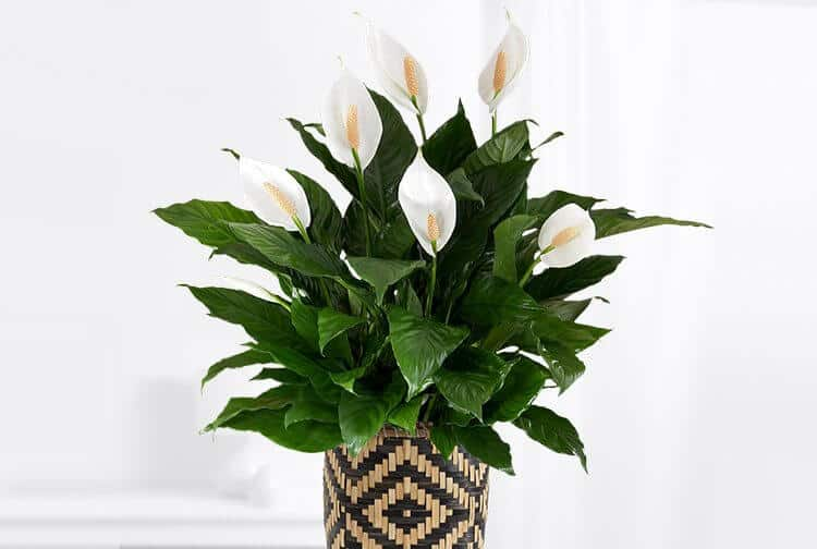 Peace Lily Air Cleaning Plant