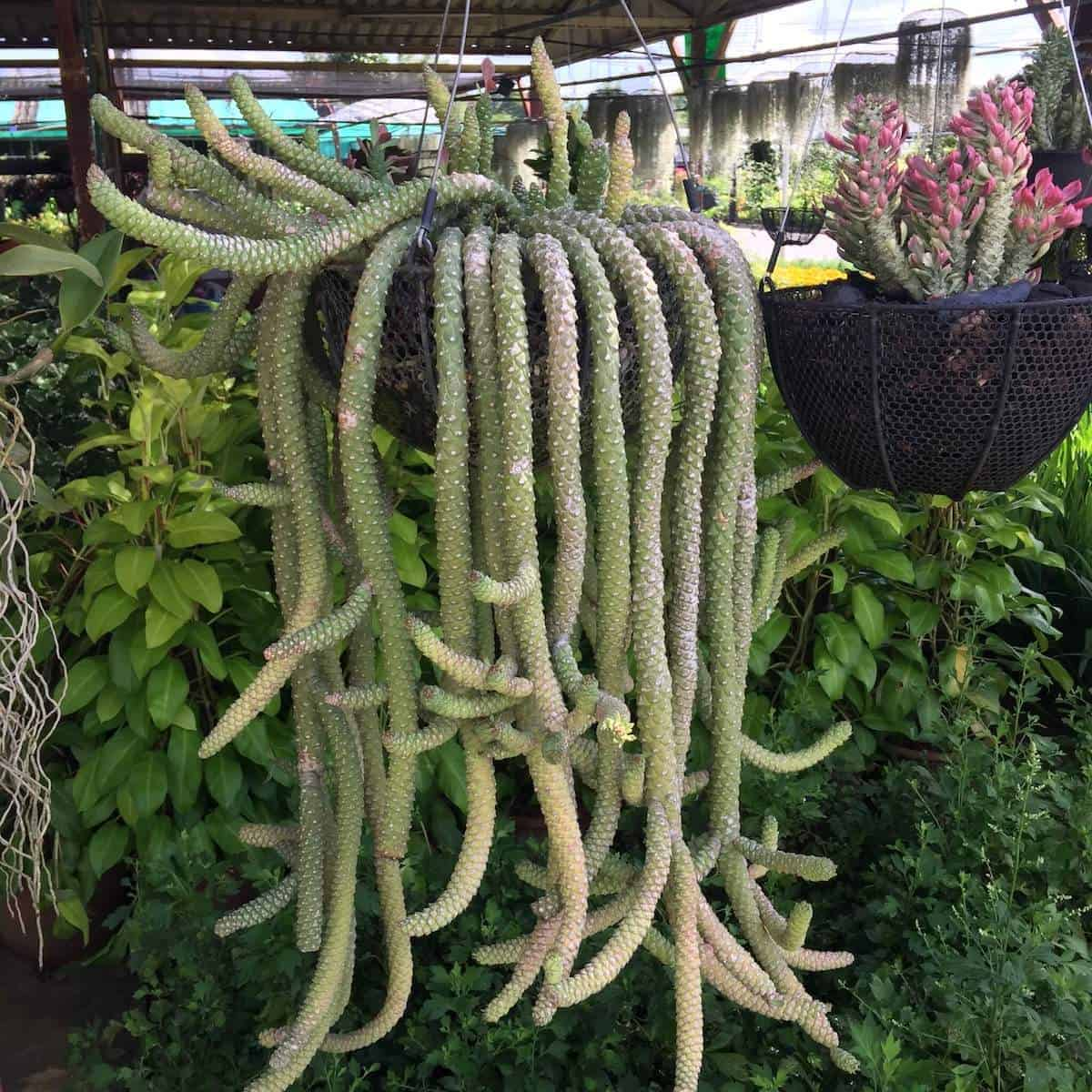 ornamental hemp cactus