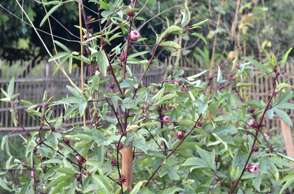 Roselle plant growing in the farm
