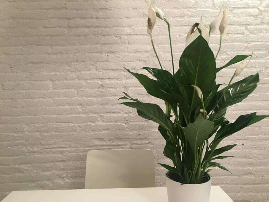 peace lilly plant for better sleep